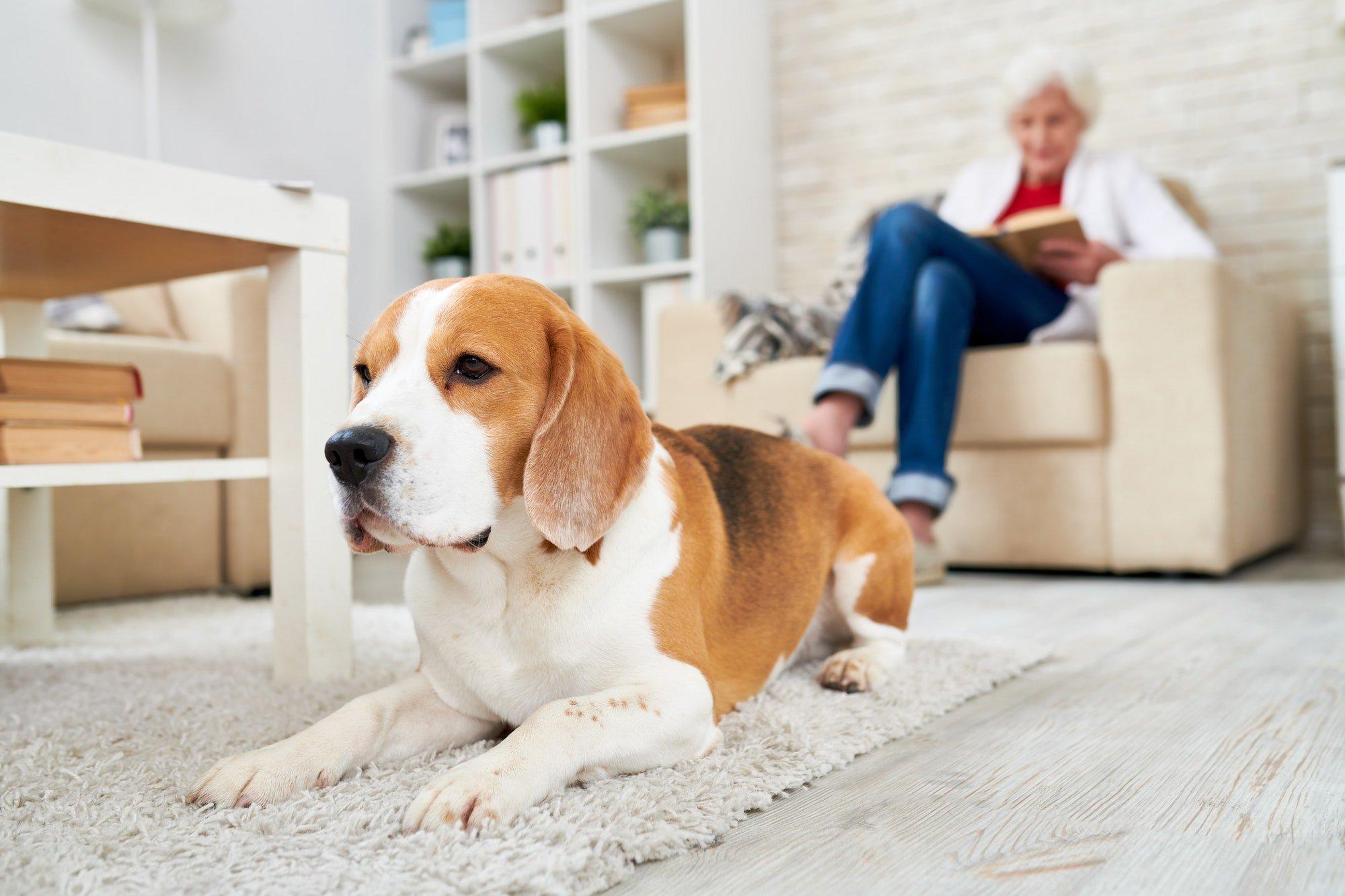 Depressed dog lying on carpet